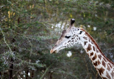 Tall neck of Giraffe Stock Photos