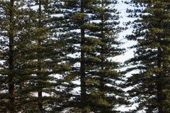 Free Tall Norfolk Pine Trees Stock Photo - 105964230