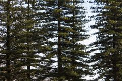 Tall norfolk pine trees. View of several tall norfolk pine trees on a park Stock Photo