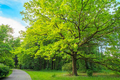 Tall Oak Tree in Summer Park Royalty Free Stock Photos