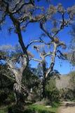 Tall oaks Stock Image