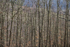 Tall Oaks Trees and Straight Stock Photos