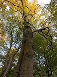 Tall old beech tree in autumn with leaves beginning to turn gold Royalty Free Stock Photography
