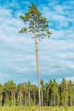 Tall old pine. Stock Images