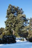 Tall old pine trees Stock Photo