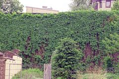 A tall old wall overgrown with green shrubs. Old wall overgrown with green vegetation Royalty Free Stock Image