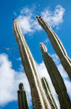 Tall organ pipe cactus on Aruba Royalty Free Stock Photography