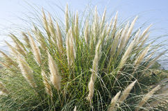 Tall Ornamental Grass Against the Blue Sky Royalty Free Stock Images
