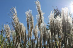 Tall Ornamental Grasses in Sunlight Royalty Free Stock Photo