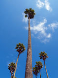 Tall Palm Stock Photography