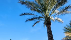 Tall palm against a blue sky background. Exotic Flora. The camera moves around the tree. Green long leaves stock video footage