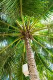 Tall palm with switch box and big green leaves. In park stock images