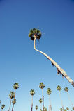 Tall palm tree Royalty Free Stock Image