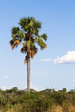 Tall palm tree Royalty Free Stock Photo