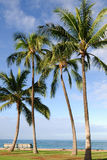Tall Palm Tree Stock Photo