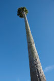 Tall Palm Tree against Blue Sky Stock Photo