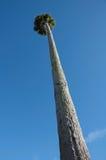Tall Palm Tree against Blue Sky Stock Photo