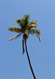 Tall palm tree against a blue sky Royalty Free Stock Photo
