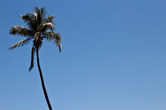 Tall palm tree against a blue sky Stock Photo