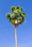 Tall Palm Tree on Blue Sky Background Royalty Free Stock Images