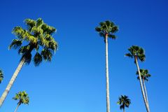 Tall Palm tree looking up stock images