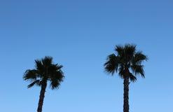Tall palm tree Royalty Free Stock Photos