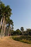Tall palm tree beside the pond in the park Royalty Free Stock Photo