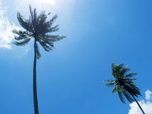 Tall palm tree silhouette on blue sky. Palm tree crown with green leaf on sunny sky background. Stock Image