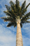 Tall palm tree Royalty Free Stock Photos