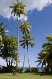 Tall palm tree in teh cirgin islands Royalty Free Stock Photo