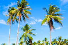 Tall palm tree on tropical island. Blue sky and sunny weather. Summer vacation banner template. Fluffy palm tree with green leaves. Coconut palm under sunlight Royalty Free Stock Photo