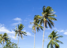 Tall palm tree on tropical island. Bright blue sky background. Summer vacation banner template. Fluffy palm tree with green leaves. Coconut palms under Royalty Free Stock Images