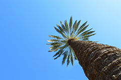 A Tall Palm Tree. A very tall palm tree reaches up to the clear blue sky in Benidorm Stock Photos