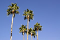 Tall palm trees Stock Photos