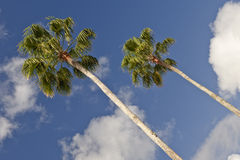Tall Palm Trees Stock Photography