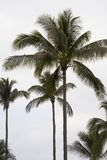 Tall Palm Trees Royalty Free Stock Photography