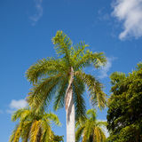 Tall palm trees against a blue sky Royalty Free Stock Photos