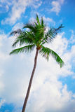 Tall palm tree Stock Photos