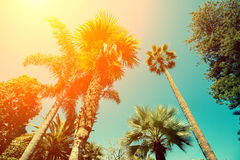 Tall palm trees. Against sunlight Stock Image