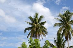 Tall palm trees aginst sky royalty free stock photography