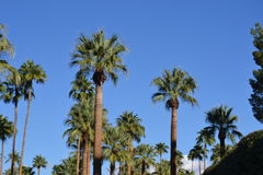 Tall palm trees Stock Image