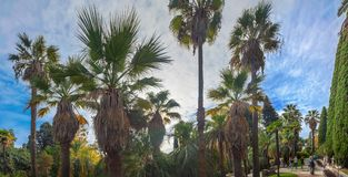 Tall palm trees in the Arboretum of Sochi. Russia. Park arboretum in Sochi deservedly has the status of a monument of landscape art Stock Photography