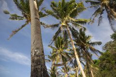 Tall palm trees on the beach. With some coconuts that move easily in the wind. In the blue sky some white clouds Stock Photos