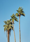 Tall palm trees and blue sky Royalty Free Stock Photography