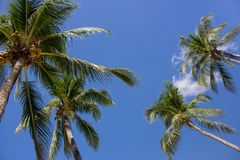 Tall palm trees in blue sky background bottom view. Palm trees with coconuts. Exotic plants concept. Palm trees in wind. Tall palm trees on blue sky background stock photos