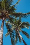 Tall palm trees in blue sky background bottom view. Palm trees with coconuts. Exotic plants concept. Palm trees in wind. Tall palm trees on blue sky background stock image