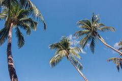 Tall palm trees in blue sky background bottom view. Palm trees with coconuts. Exotic plants concept. Palm trees in wind. Tall palm trees on blue sky background royalty free stock image