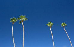 Tall Palm Trees In Bright Blue Sky Stock Photos