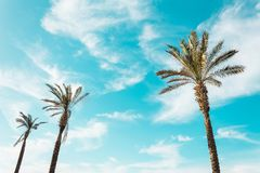 Tall palm trees clear sky as background royalty free stock images