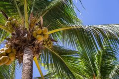 Tall palm trees with coconuts in blue sky background bottom view. Exotic plants concept. Resort background. Tropical summer vacation. Tropical nature. Paradise stock photography
